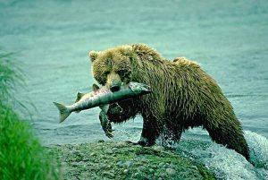 Alaska.Brooks Falls, Brooks, Falls, Katmai National Park,  Grizzly bear (Ursus arctos) fishing.