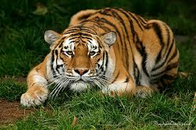 tiger waiting to attack