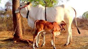 indias indigenous cow and calf